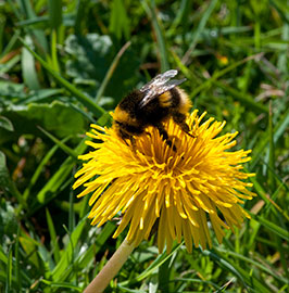 White-tailed Bumblebee, Bombus lucorum on Dandelion