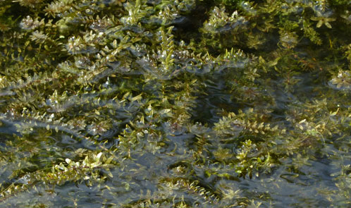 Canadian and Nuttall's Waterweeds